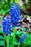 Blue Muscari - blooming spring flowers Stock Photography