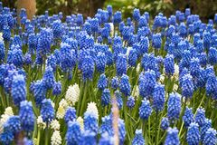 Spring Muscari in the botanical garden in spring Royalty Free Stock Image