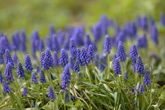 Blue Muscari early spring on green grass royalty free stock photos