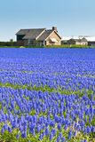 Blue Muscari field in Holland Royalty Free Stock Image