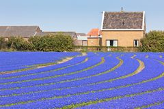 Blue Muscari field in Holland Royalty Free Stock Photography