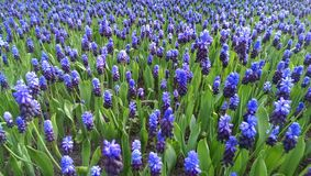Blue muscari flowers. In bloom in spring royalty free stock photography