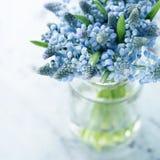 Blue muscari flowers Royalty Free Stock Photo
