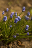 Blue muscari flowers (Grape Hyacinth). In the garden Royalty Free Stock Photography