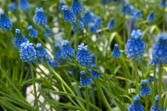 Blue Muscari flowers, grape hyacinth Stock Image