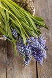 Blue muscari flowers (Grape hyacinth) Royalty Free Stock Photo