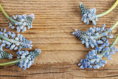 Blue muscari flowers (Grape Hyacinth) on wood Stock Photography