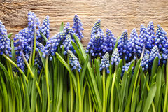 Blue muscari flowers (Grape hyacinth) on wood Royalty Free Stock Photos