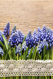Blue muscari flowers (Grape hyacinth) on wood Royalty Free Stock Photo