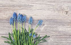 Blue muscari flowers stock photography