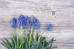 Blue muscari flowers royalty free stock image