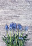 Blue muscari flowers Grape hyacinth. On wooden background Royalty Free Stock Photo