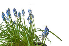 Blue muscari flowers  isolated on white Stock Images