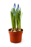 Blue muscari flowers in pot isolated on white Stock Photo