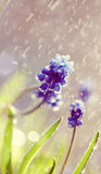 Blue Muscari flowers in the rain Stock Photo