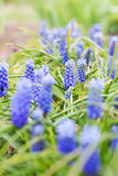 Blue Muscari flowers. Selective focus Royalty Free Stock Image