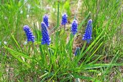 Blue muscari flowers Stock Photos