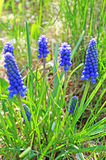 Blue muscari flowers Royalty Free Stock Photos