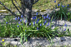 Blue muscari flowers on a sunny day Stock Images