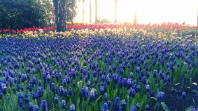 Blue muscari flowers and tulips. Blue muscari flowers with red and yellow tulips in beds at the Keukenhof in Lisse, Netherlands stock photography