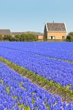 Blue Muscari (hyacinth) field in Holland Stock Photography