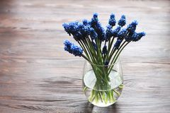 Blue muscari - hyacinth in vase with water on wooden background royalty free stock photos