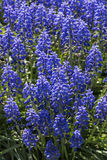 Blue muscari Royalty Free Stock Photos