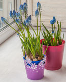 Blue Muscari in pots Royalty Free Stock Photos