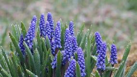 Blue Muscari spring primroses in the rain stock footage
