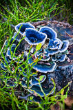 Blue mushrooms on the trunk Royalty Free Stock Images