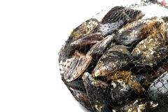 Blue mussel bivalve Royalty Free Stock Image