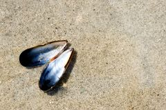 Blue mussel in thin layer of water on the beach Royalty Free Stock Image