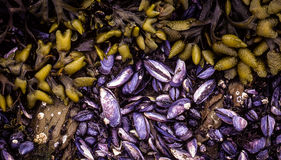 Blue Mussells and Seaweed Royalty Free Stock Image