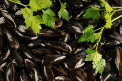 Blue mussels Royalty Free Stock Photography