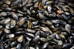 Blue Mussels Stock Images