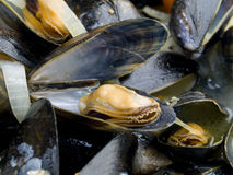 Blue mussels Royalty Free Stock Image