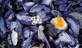 Blue Mussels and Barnacles royalty free stock images