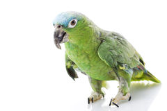 Blue-naped Amazon Parrot. (Amazona auropalliata) on white background Stock Images