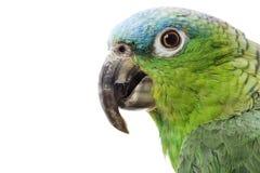 Blue-naped Amazon Parrot. (Amazona auropalliata) on white background Stock Photography