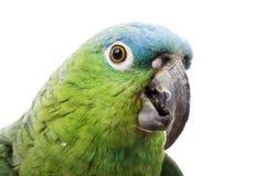 Blue-naped Amazon Parrot. (Amazona auropalliata) on white background Stock Photo