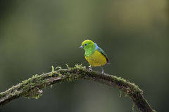 Blue-naped chloraphonia, Chlorophonia cyanea Royalty Free Stock Image