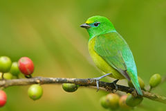Blue-naped Chlorophonia, Chlorophonia cyanea, exotic tropic green song bird form Colombia. In the nature habitat royalty free stock photo