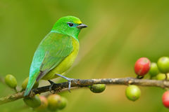 Blue-naped Chlorophonia, Chlorophonia cyanea, exotic tropic green song bird form Colombia Stock Image