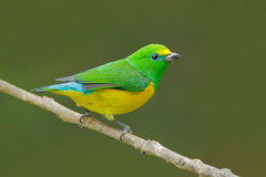 Blue-naped Chlorophonia, Chlorophonia cyanea, exotic tropic green song bird form Colombia. Wildlife from South America. Green and Stock Photography
