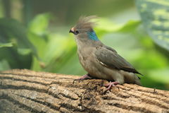 Blue-naped mousebird. The blue-naped mousebird sitting on the tree Stock Image