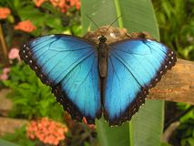 Blue nature. Large blue butterfly (Morpho) sitting on a root Royalty Free Stock Images