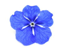 Blue navelwort. Flower on white background Royalty Free Stock Photo