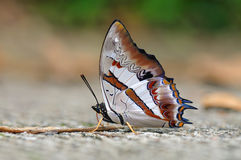 Blue Nawab butterfly. Of thailand background Royalty Free Stock Photo