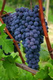 Blue nebbiolo grapes. A bunch of blue nebbiolo grapes hanging on a branch in barolo Stock Photo