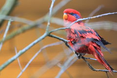 Blue-necked lory Stock Images